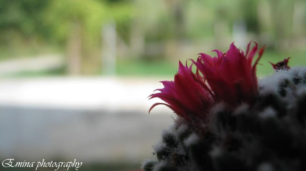 cactus by eminabuljetovic