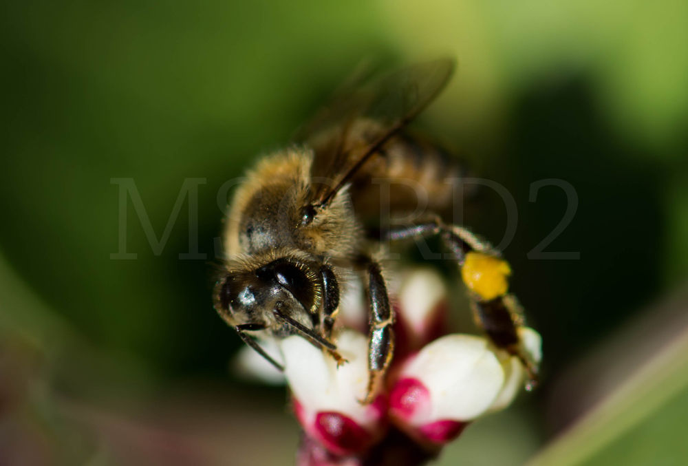 Close up of a bee on Sugar Sumac  by msqrd2