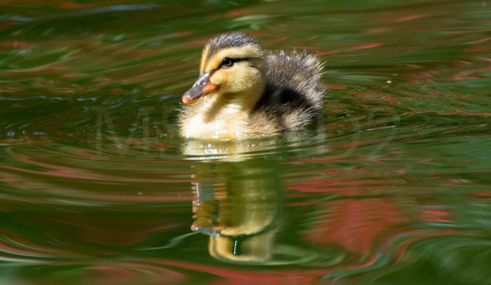 Baby Duckling by msqrd2
