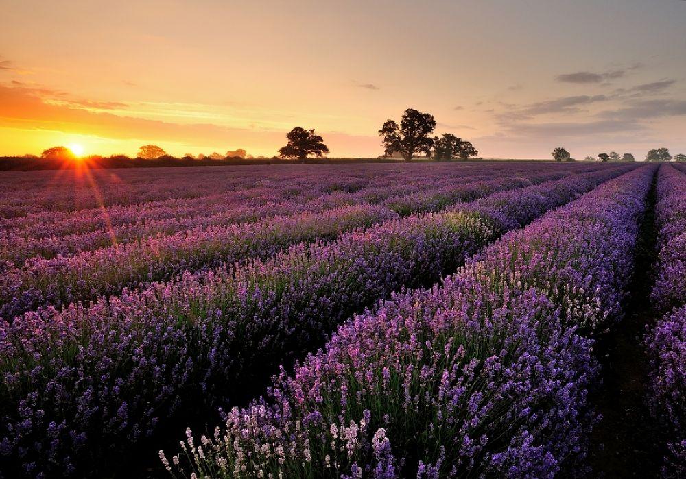 Lavender by Mark Andreas Jones