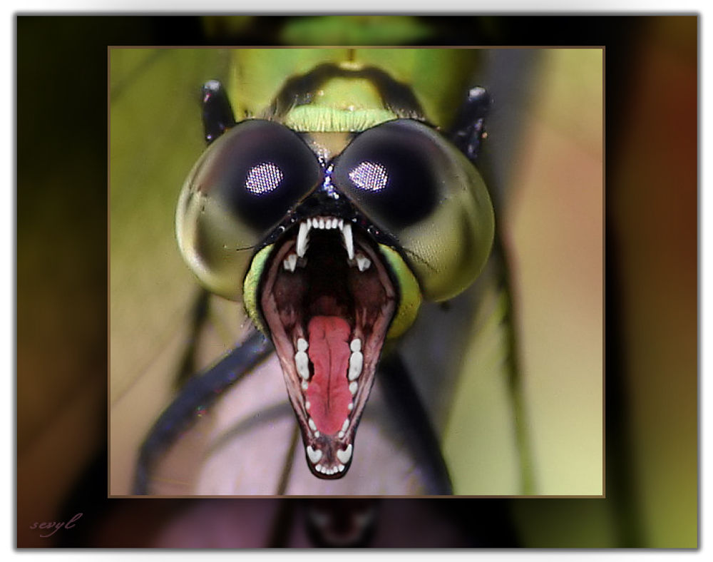 Mouche à grande gueule / Big-mouth fly by sevyl