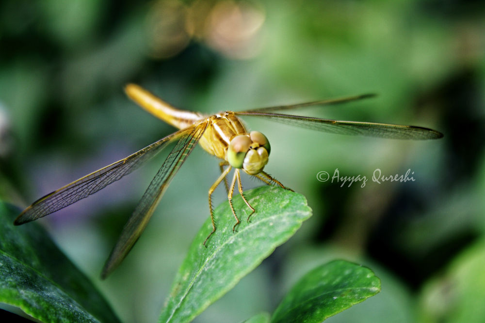 insect by ayyazq