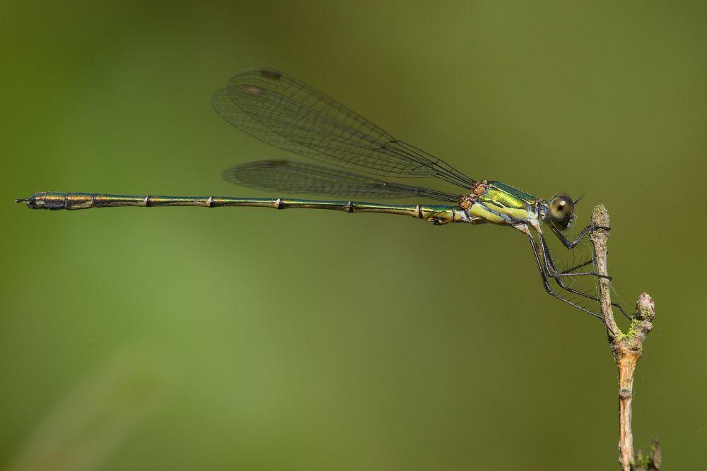 Dragonfly by Kaherdin