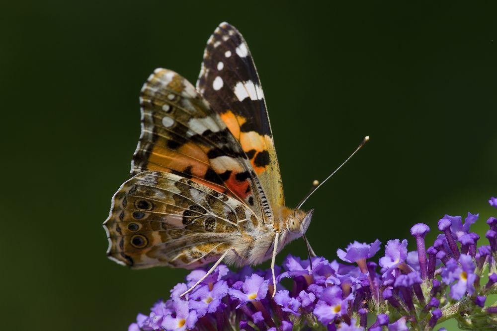 Butterfly by Kaherdin