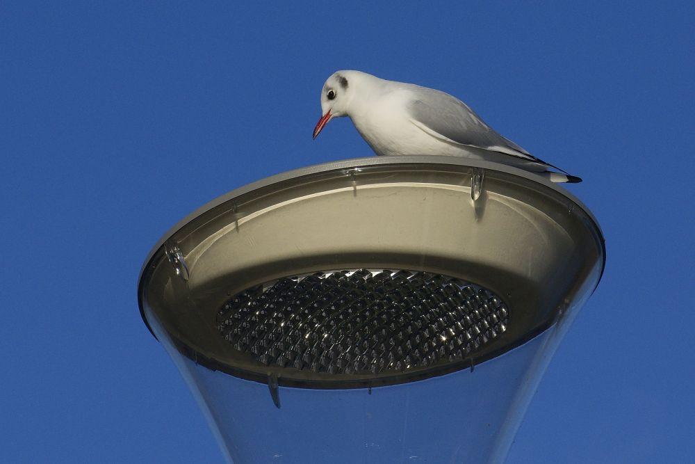 Seagull on a street lamp by Kaherdin