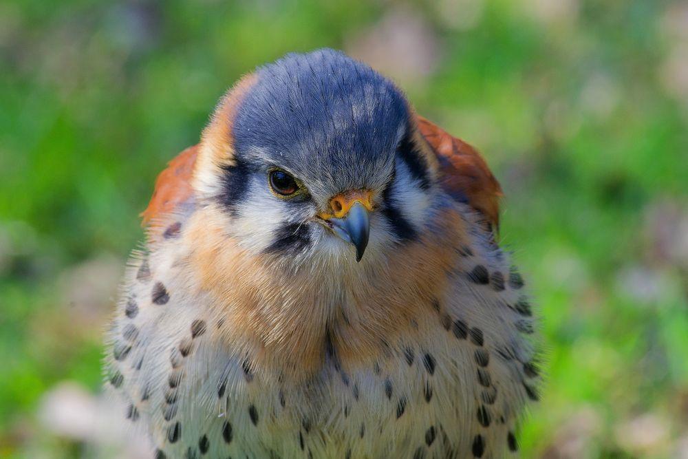 Falco sparverius by Kaherdin