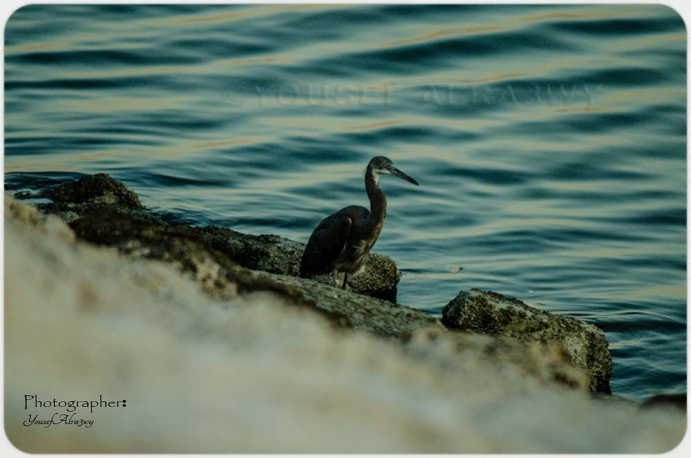 SEA BIRDS by Yousef Alra3wy