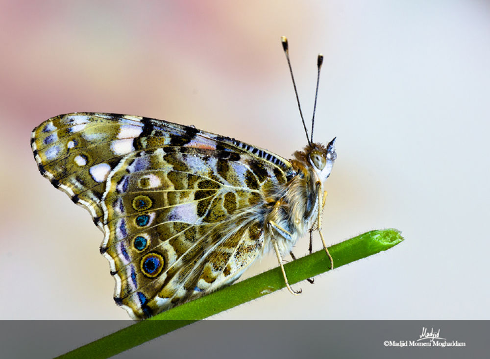 Butterfly by Madjid Momeni Moghaddam