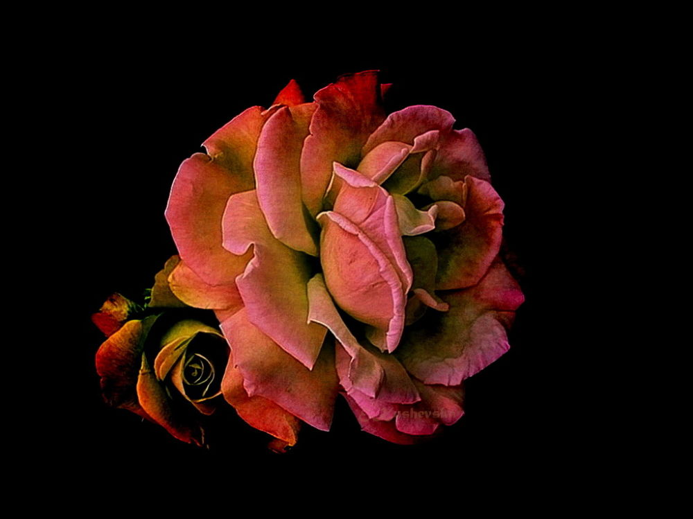 Rose Dream by Ema1956