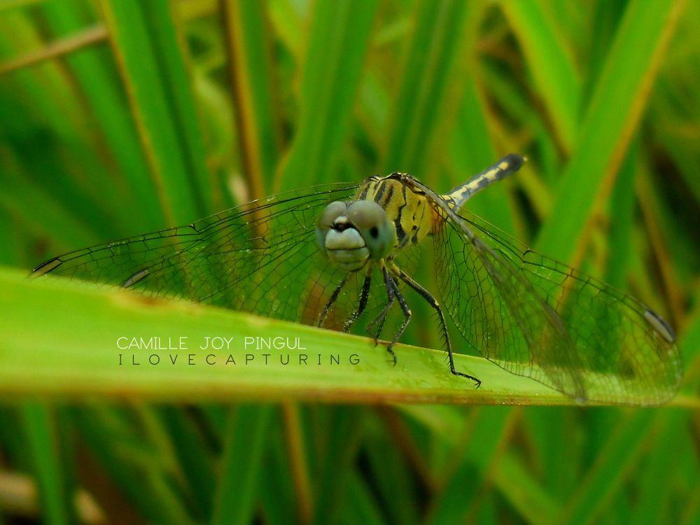 Dragonfly by Cj Pingul