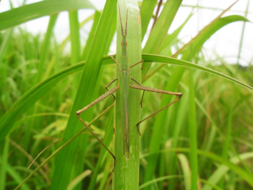 Green Grasshopper by Cj Pingul