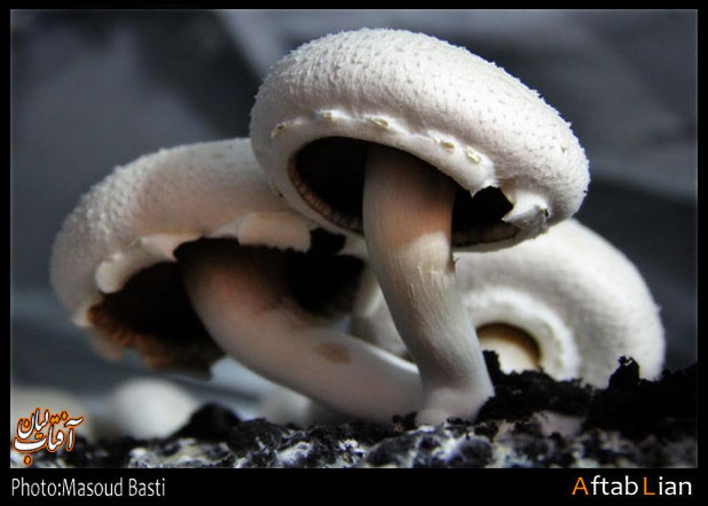 Mushrooms by Masoud Basti