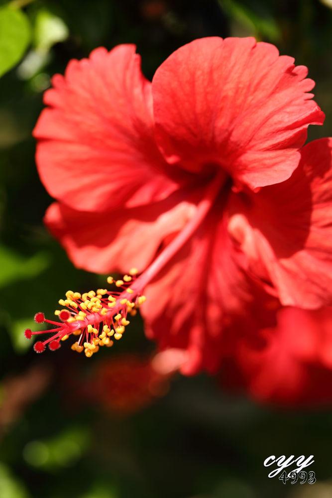 Hibiscus [Malvaceae] Hibiscus Rosa-sinensis 紅木槿 by cyy4993