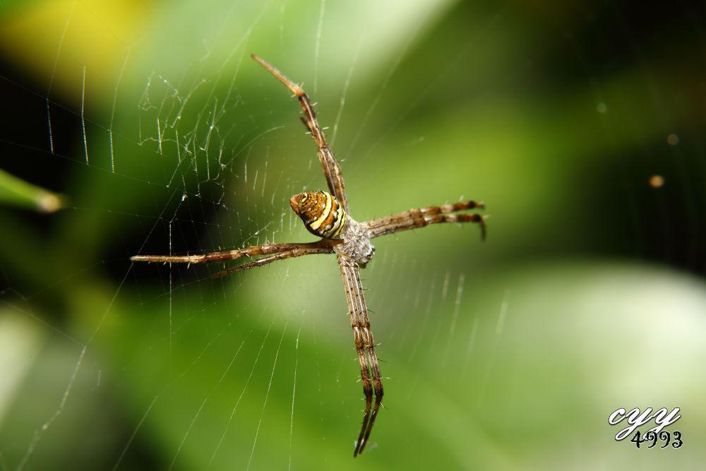St. Andrew's Cross Spider [Araneidae] Argiope Aetheroides (Yin et al, 1989) 中形金蛛 by cyy4993