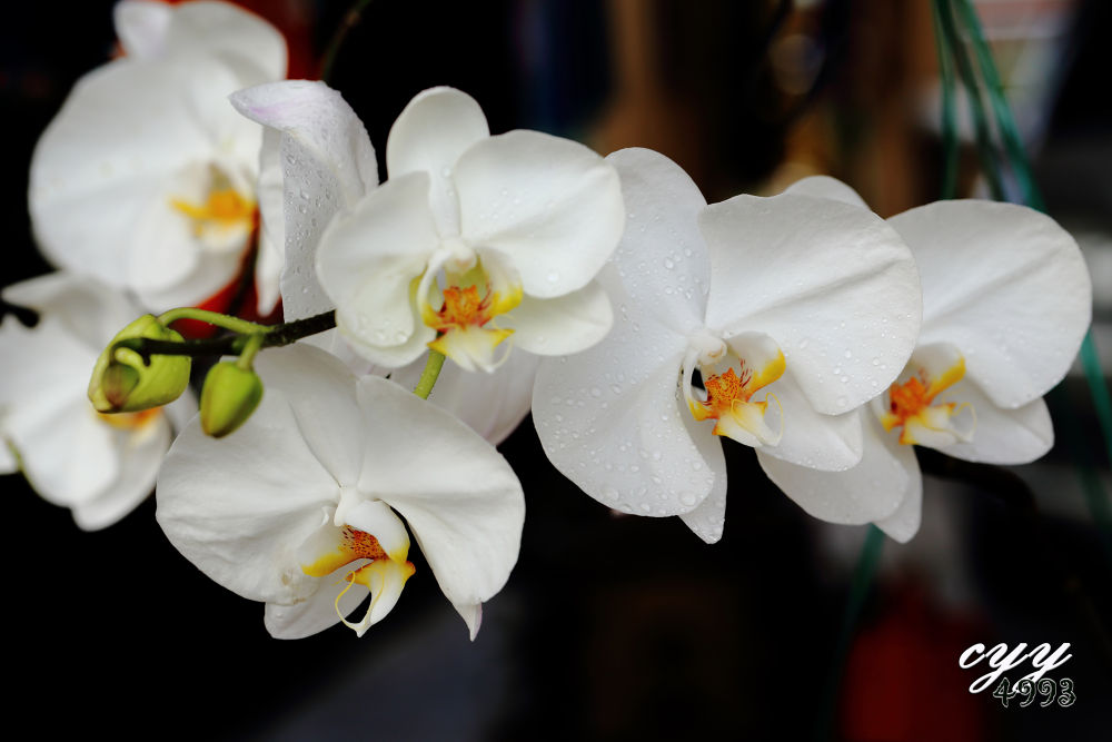 Moon Orchid [Orchidaceae] Phalaenopsis Amabilis 'Alain Brochart' 兰花 by cyy4993
