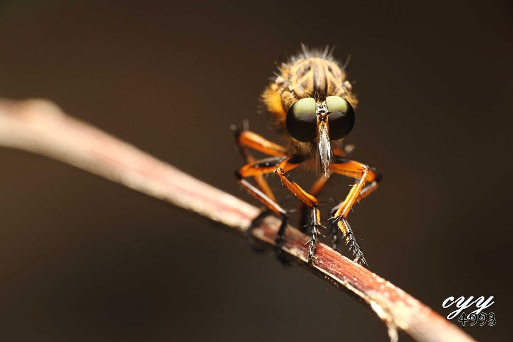 Photo in Random #食蟲虻 #robber fly #asilidae #insect #canon eos 6d #canon ef 100mm f2.8l is usm