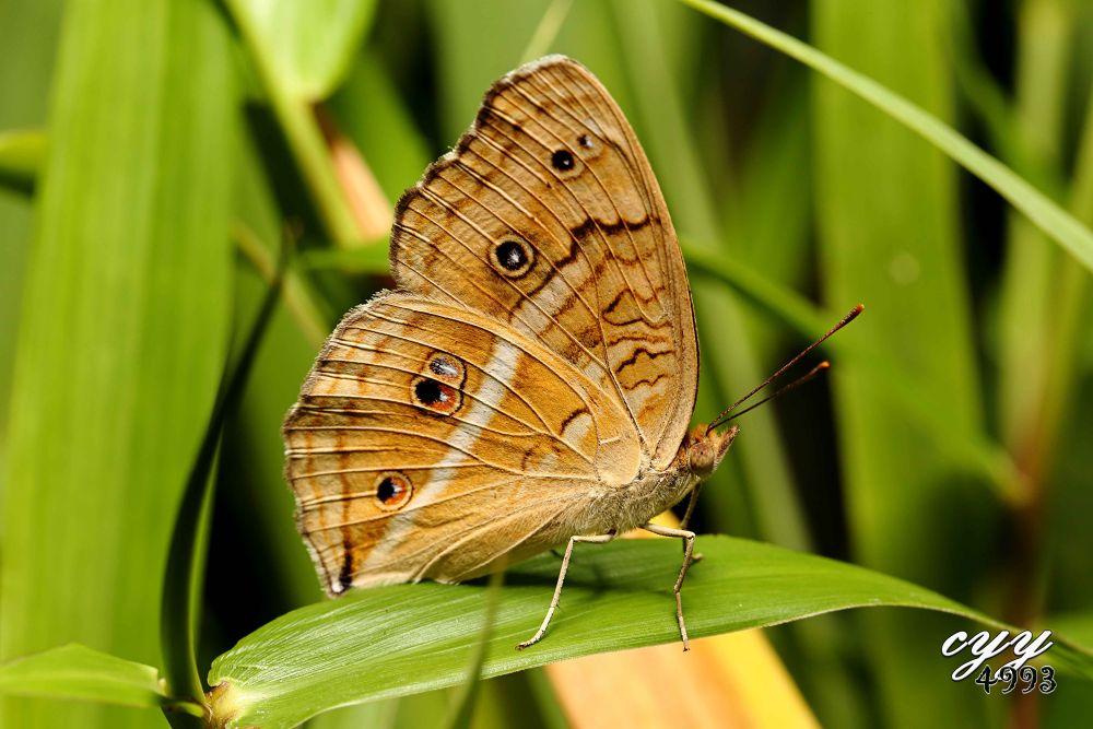 Photo in Random #peacock pansy #nymphalidae #junonia almana #linnaeus 1758 #孔雀蛺蝶 #butterfly #cyy4993 #canon eos 6d #canon ef 100mm f2.8l is usm