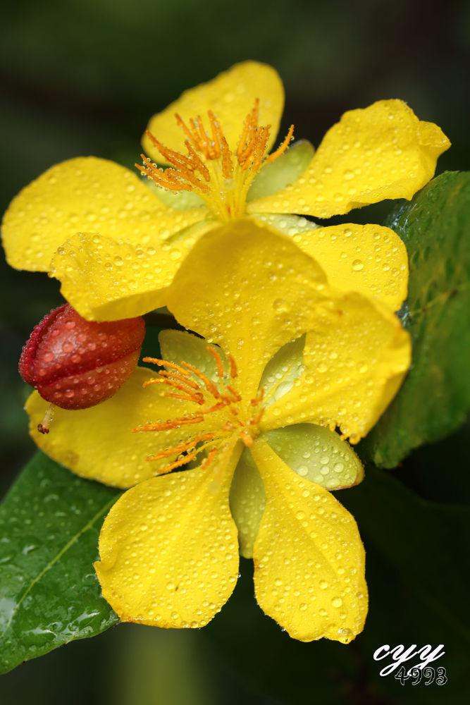 Mickey Mouse Plant [Ochnaceae] Ohcna Kirkii 米老鼠树 by cyy4993