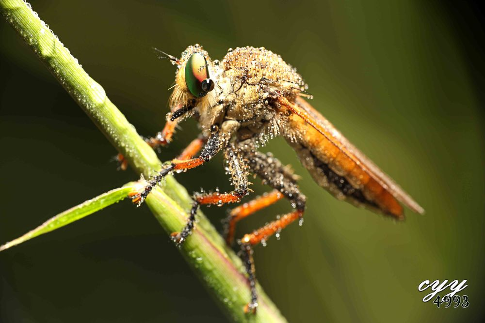 Robber Fly [Asilidae] 食蟲虻 by cyy4993