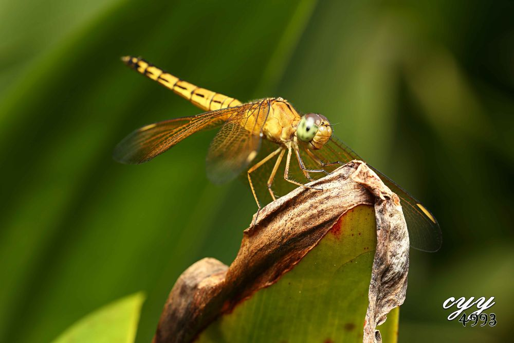 Photo in Macro #dragonfly #libellulidae #蜻蜓 #cyy4993 #insect #canon eos 6d #canon ef 100mm f2.8l is usm
