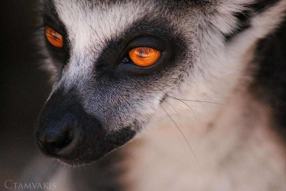 Photo in Animal #lemur catta #lemur #catta #animal #portrait