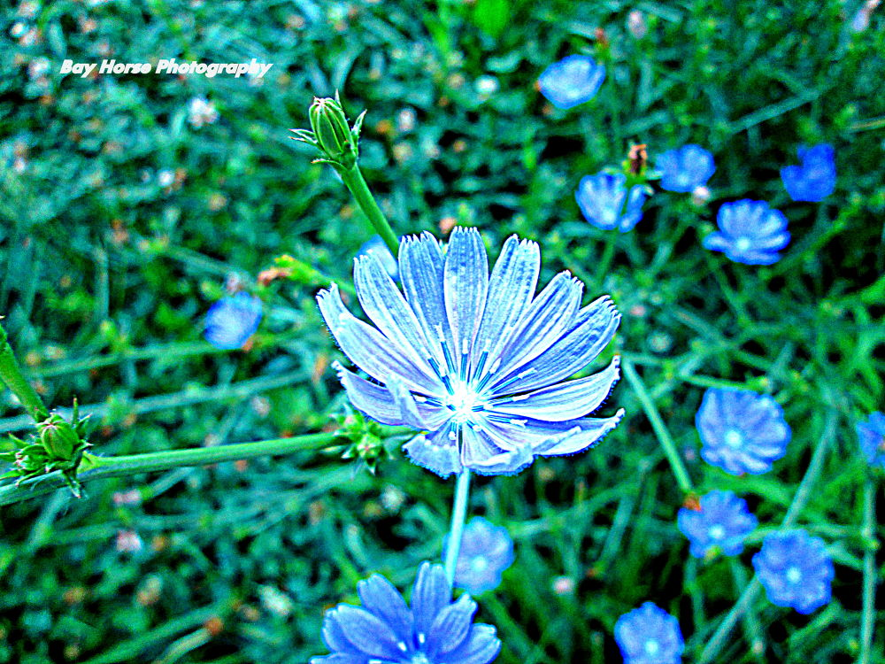 Chicory growing wild in IL... by beckyfaustroberts