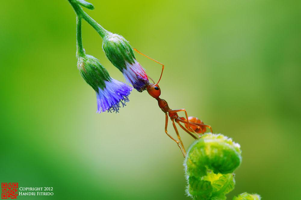 Photo in Macro #semut #ant #insect #macro #nature #fitrido #medan #sumatera #indonesia