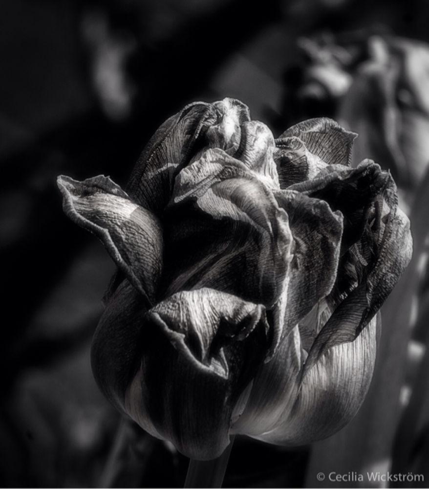 tulip by ceciliawickstrom9
