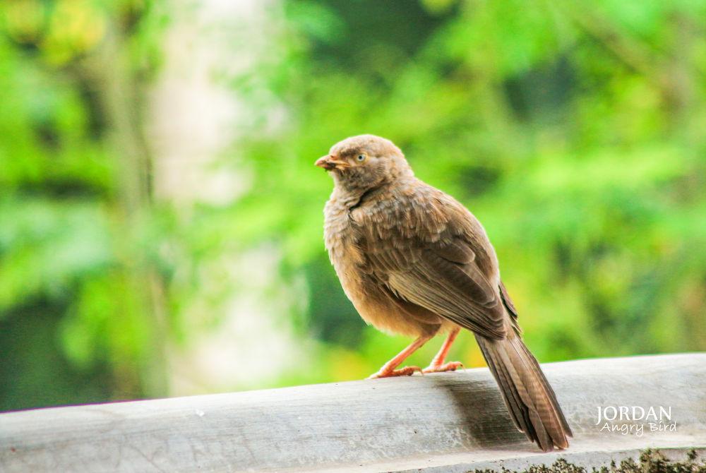 Angry Bird by Jordan Perera