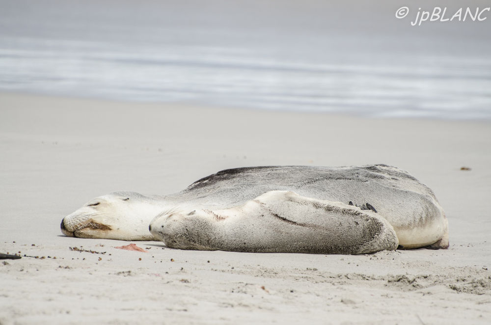 Seal mom with puppy on Seal Bay COnservation Park by jean pierre blanc
