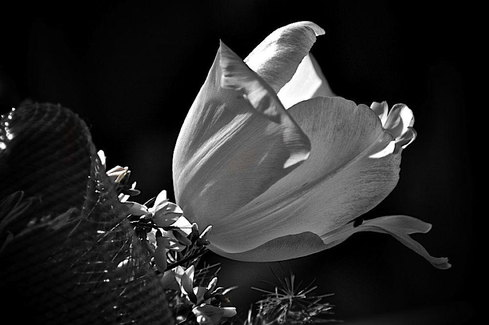 Tulipano. by  Graziano Biancheri