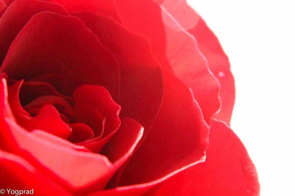 red rose 2 by Yoga Praditya