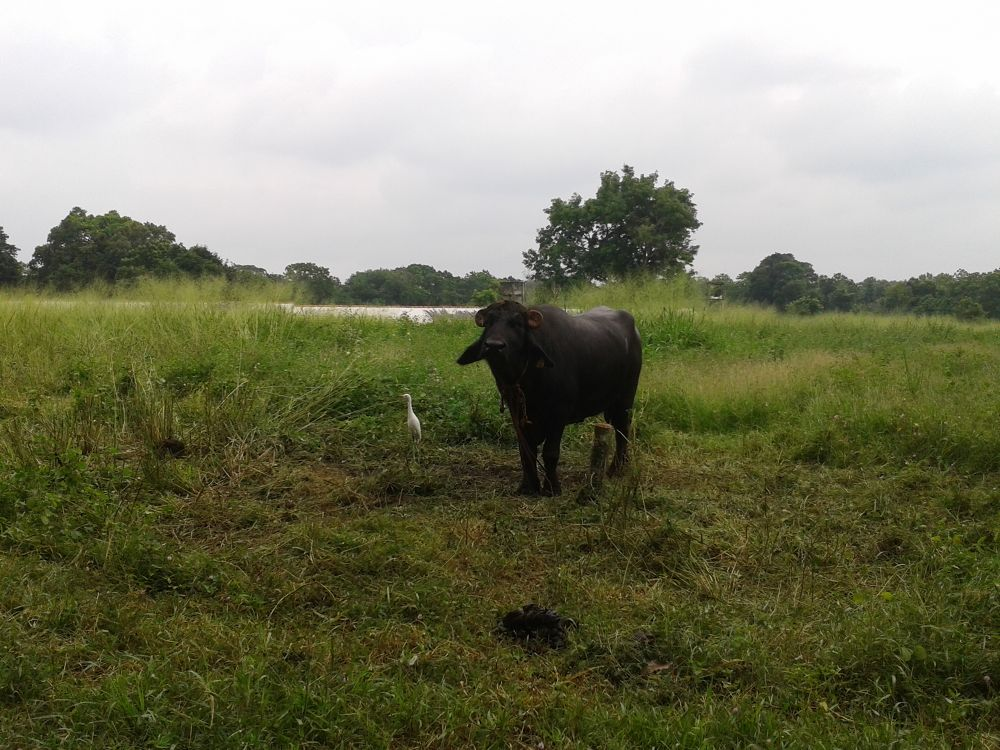 Sri lankan buffalo by Sri Lanka Mobile Ppgotography