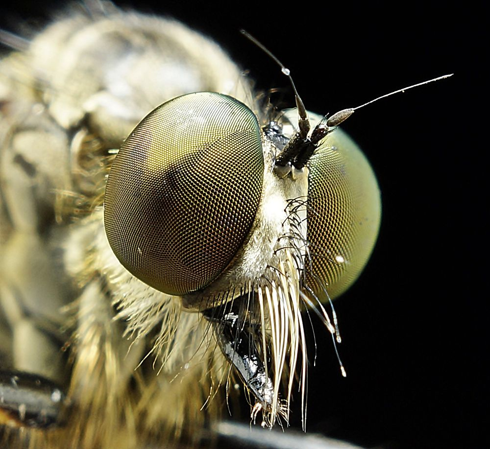 ROBBER FLY. by tamz