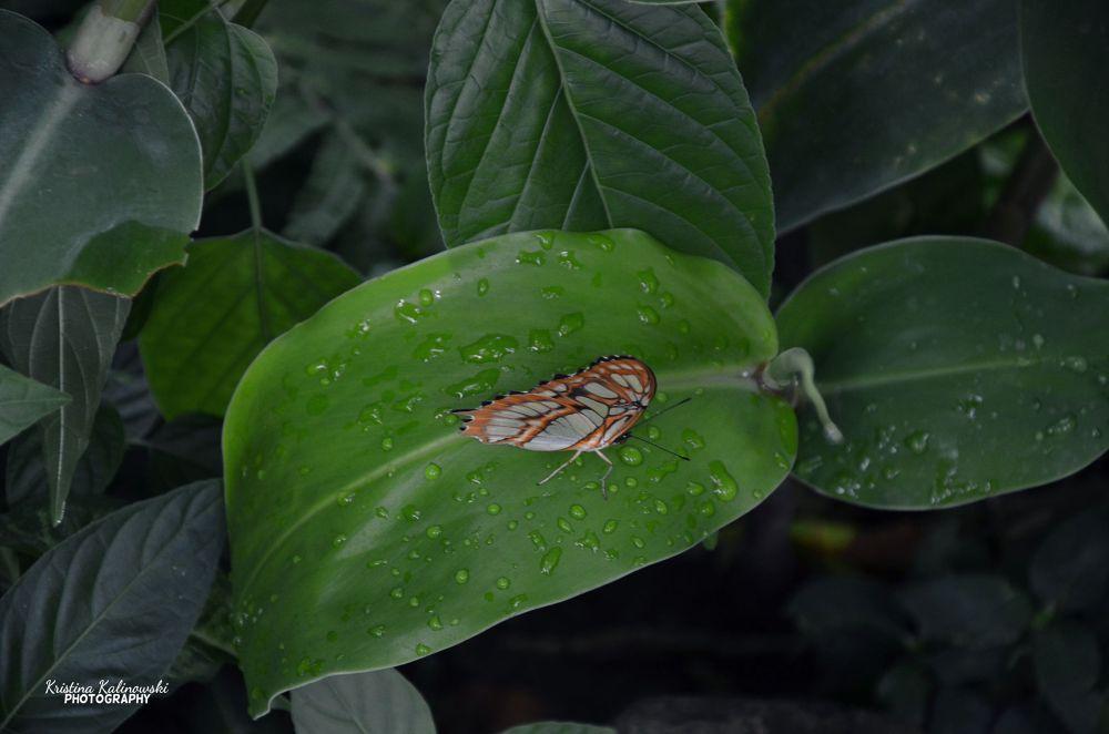 butterfly by Kristina Kalinowski
