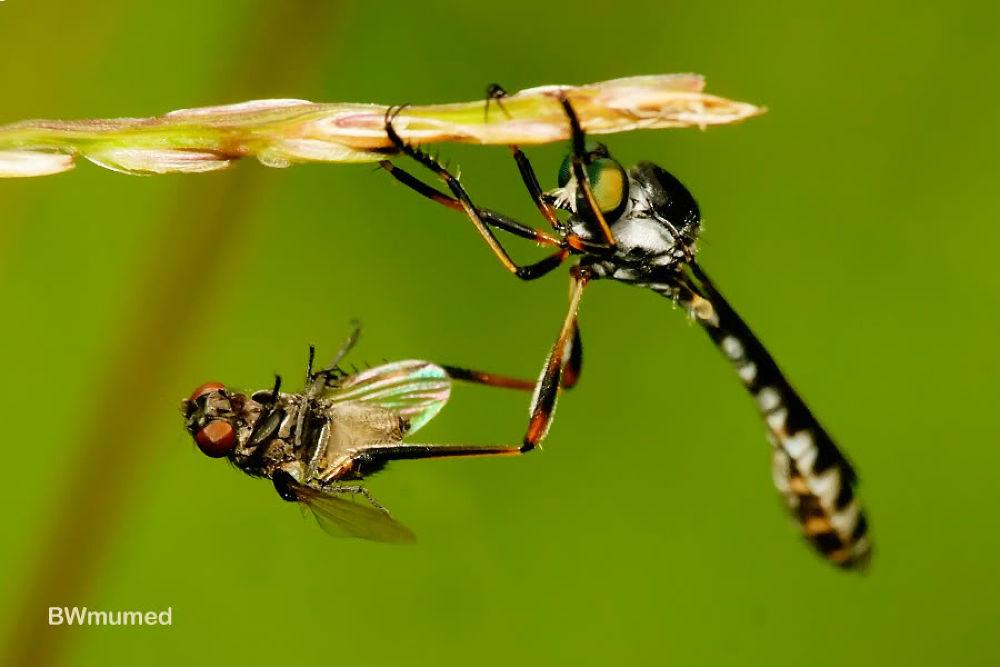 mini robberfly by Bambang