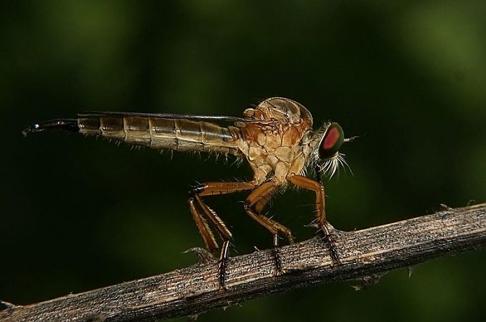 Robberfly 1 by Bambang