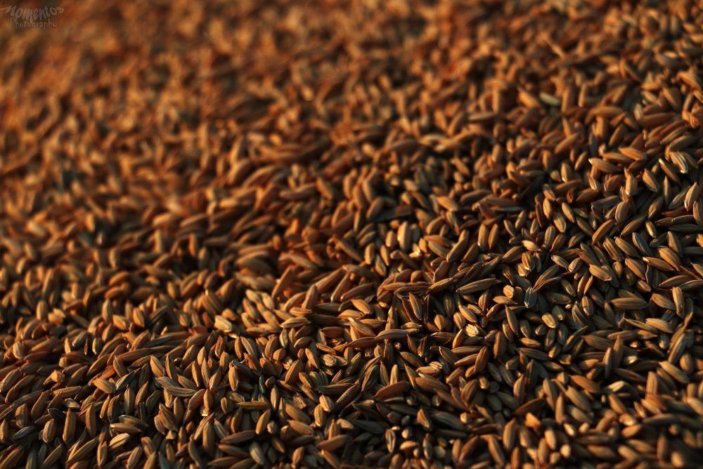 Wheat by pavanmaruvada1