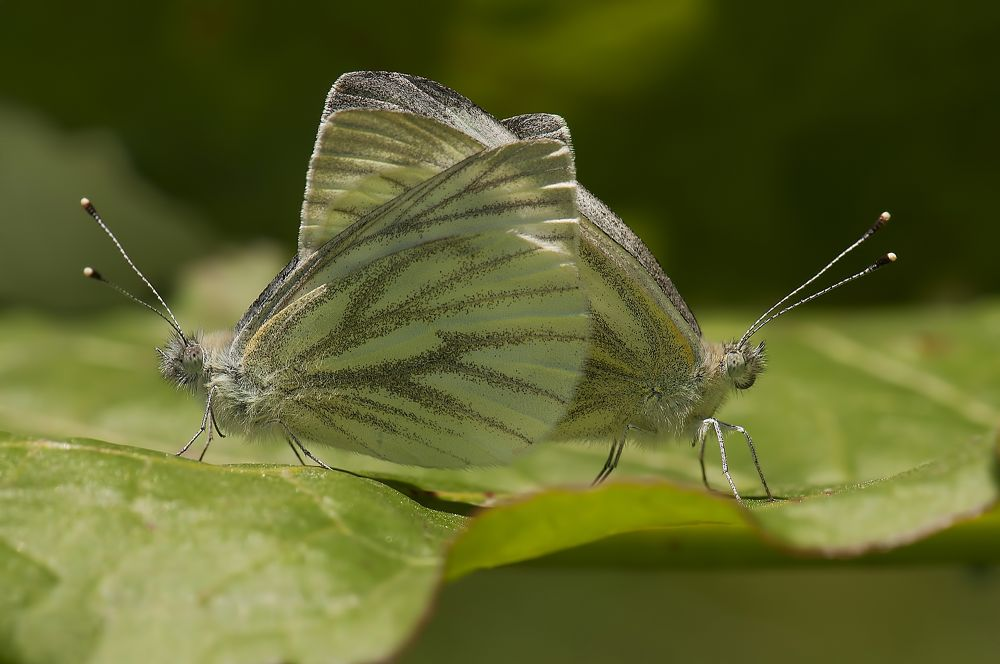 False Cabbage White  by Sezgin Ermis