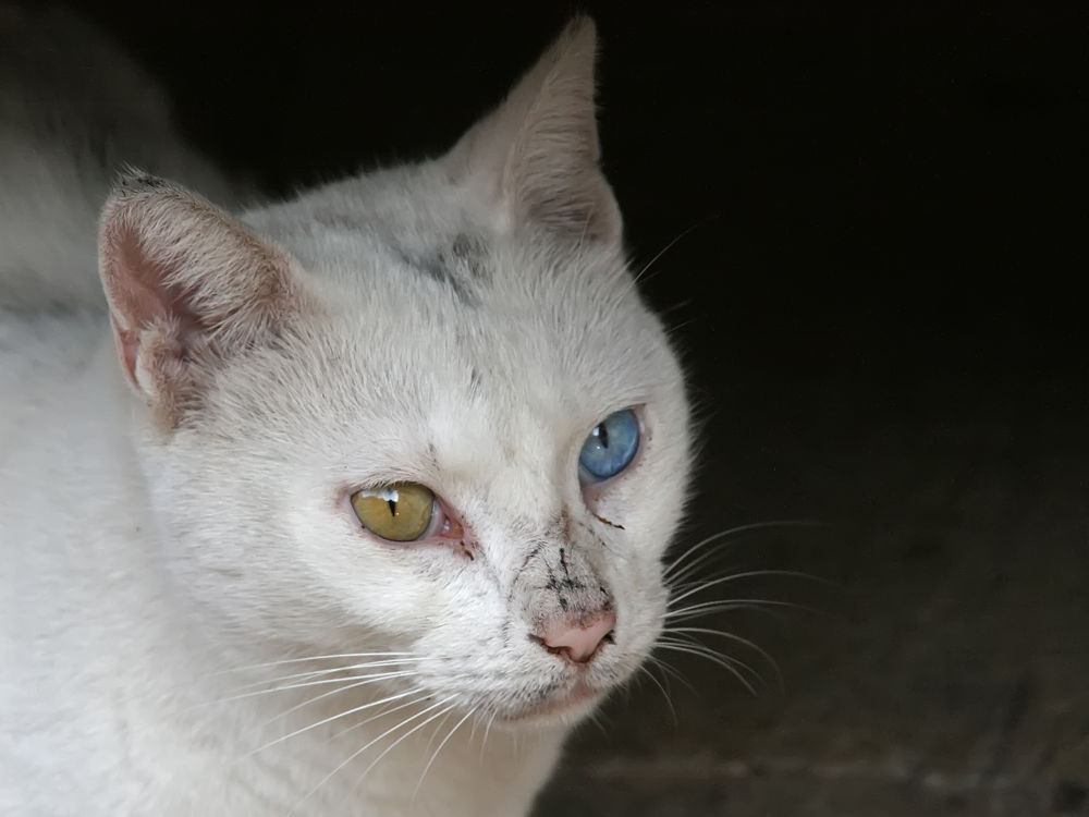 Tri color white Cat by Shimon Aluf