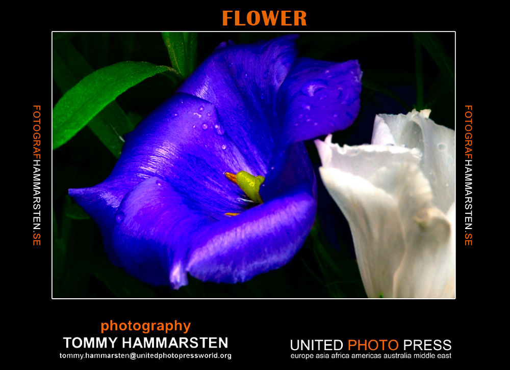 flowersnew by tommytechno