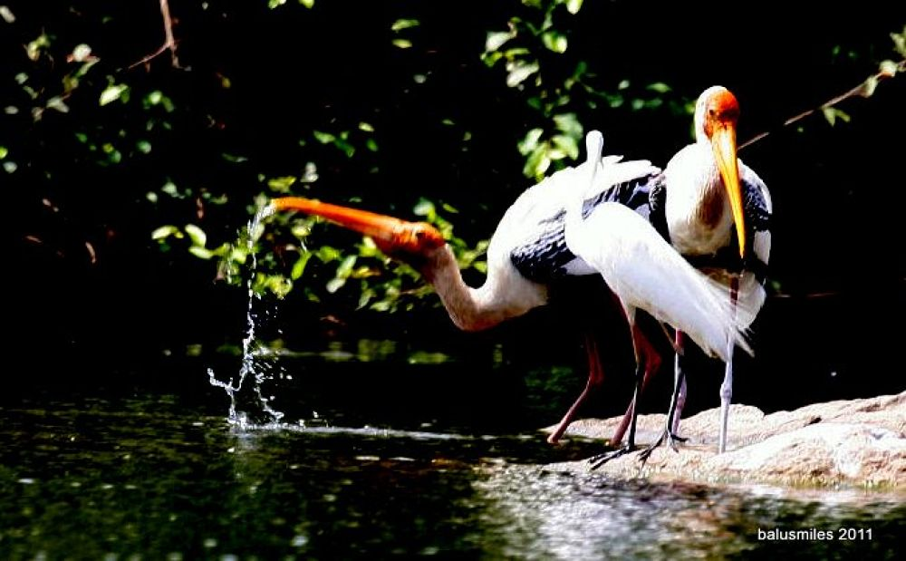 painted stork by balasubrahmanaya.k.s