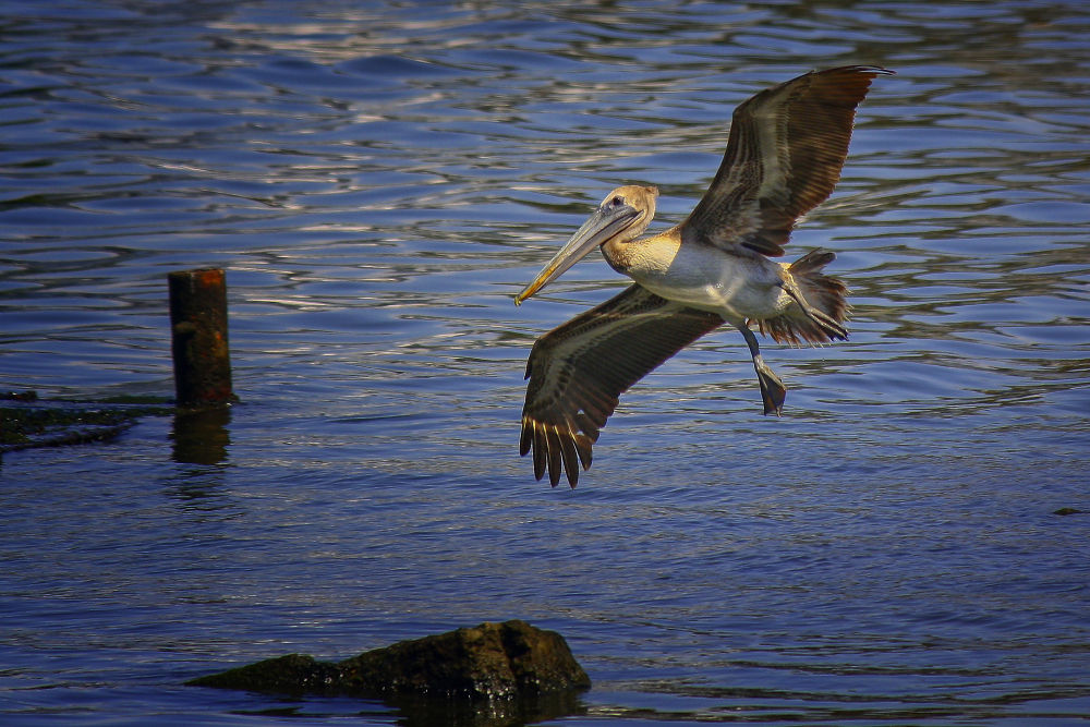 Pelicansss (1) by Jorge Coromina