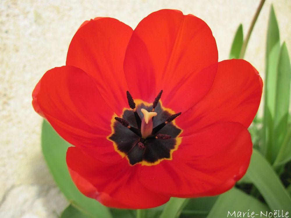 tulipe by MarieNoelle
