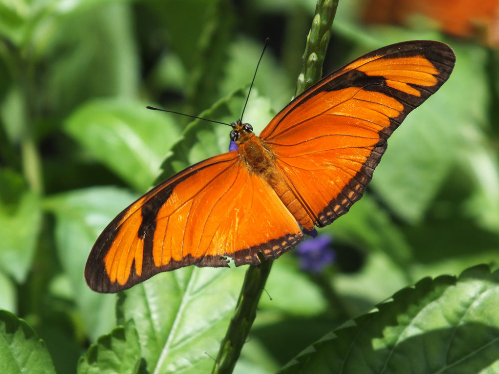 Dryas iulia, male, butterfly, borboleta by Rui Oliveira Santos