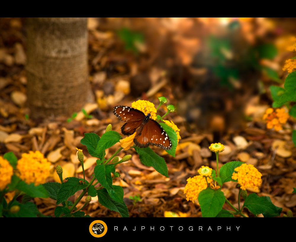 butterfly by rajesh