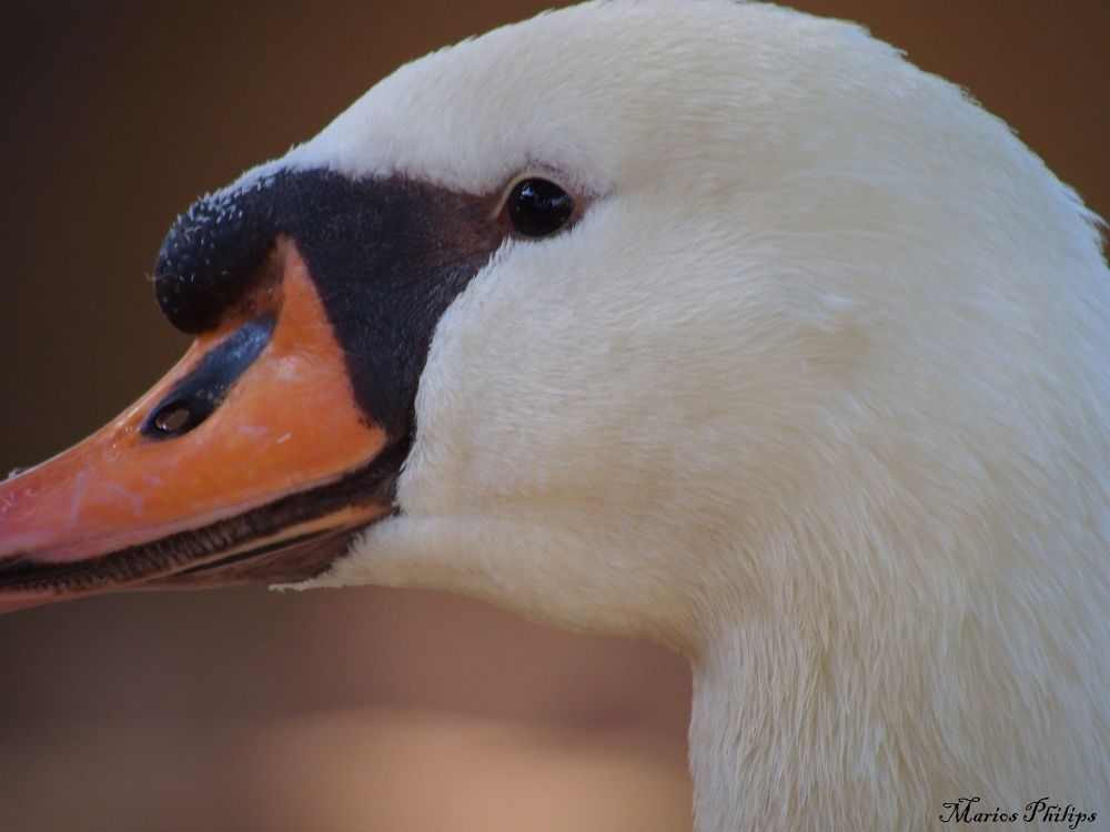 swan portrait by mariosphilips