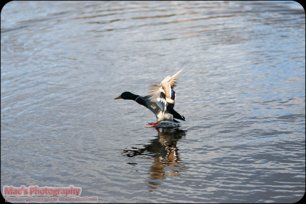 A duck landing... by Mac's Photography