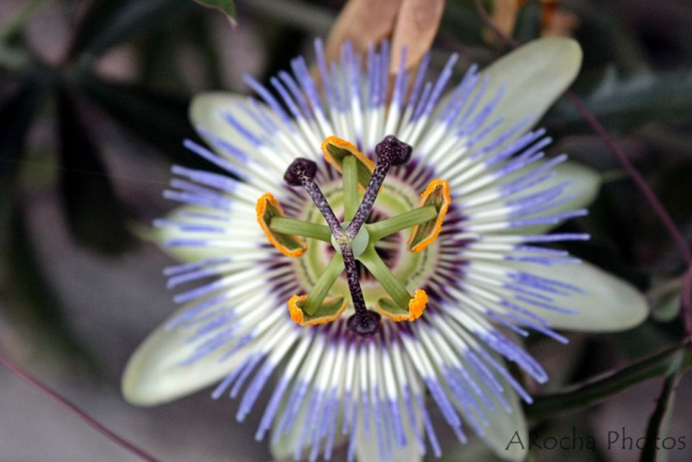 Passion Fruit Flower by AROCHA