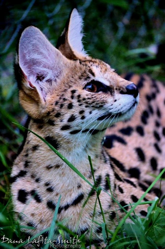 African Serval by Dana Lafita-Smith